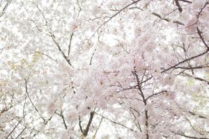 青木神社の春2